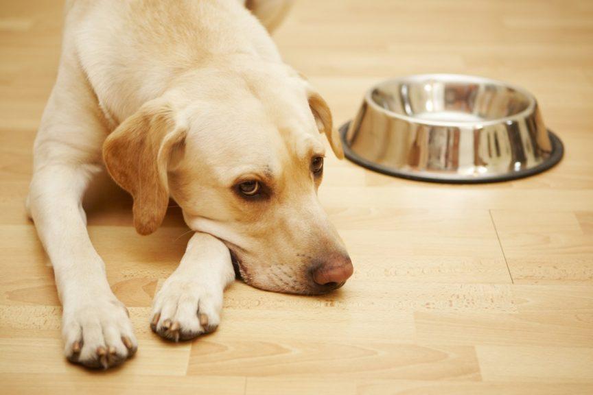 Troubles digestifs du chien