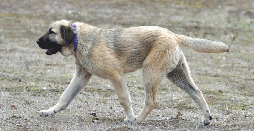 Race de chien le kangal