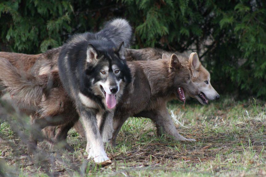 chiens loups timber élévage Le Pacte des Loups
