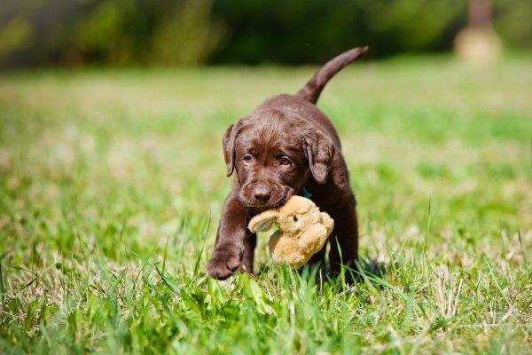 Labrador retriever (3)