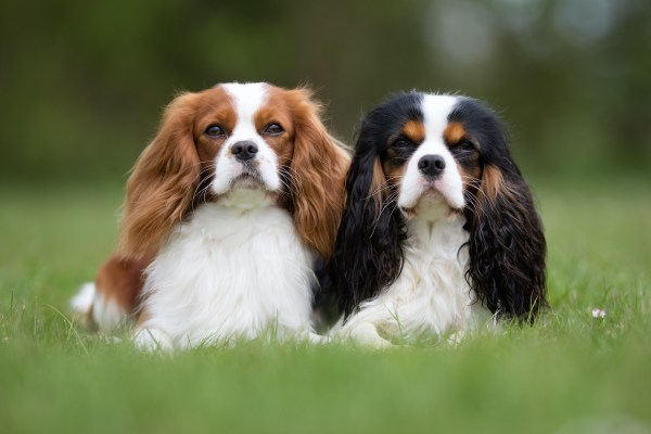 Carlin, Chihuahua et Cavalier King Charles