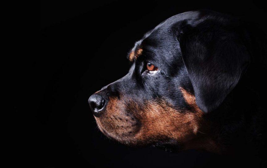 chien apparaissant dangereux