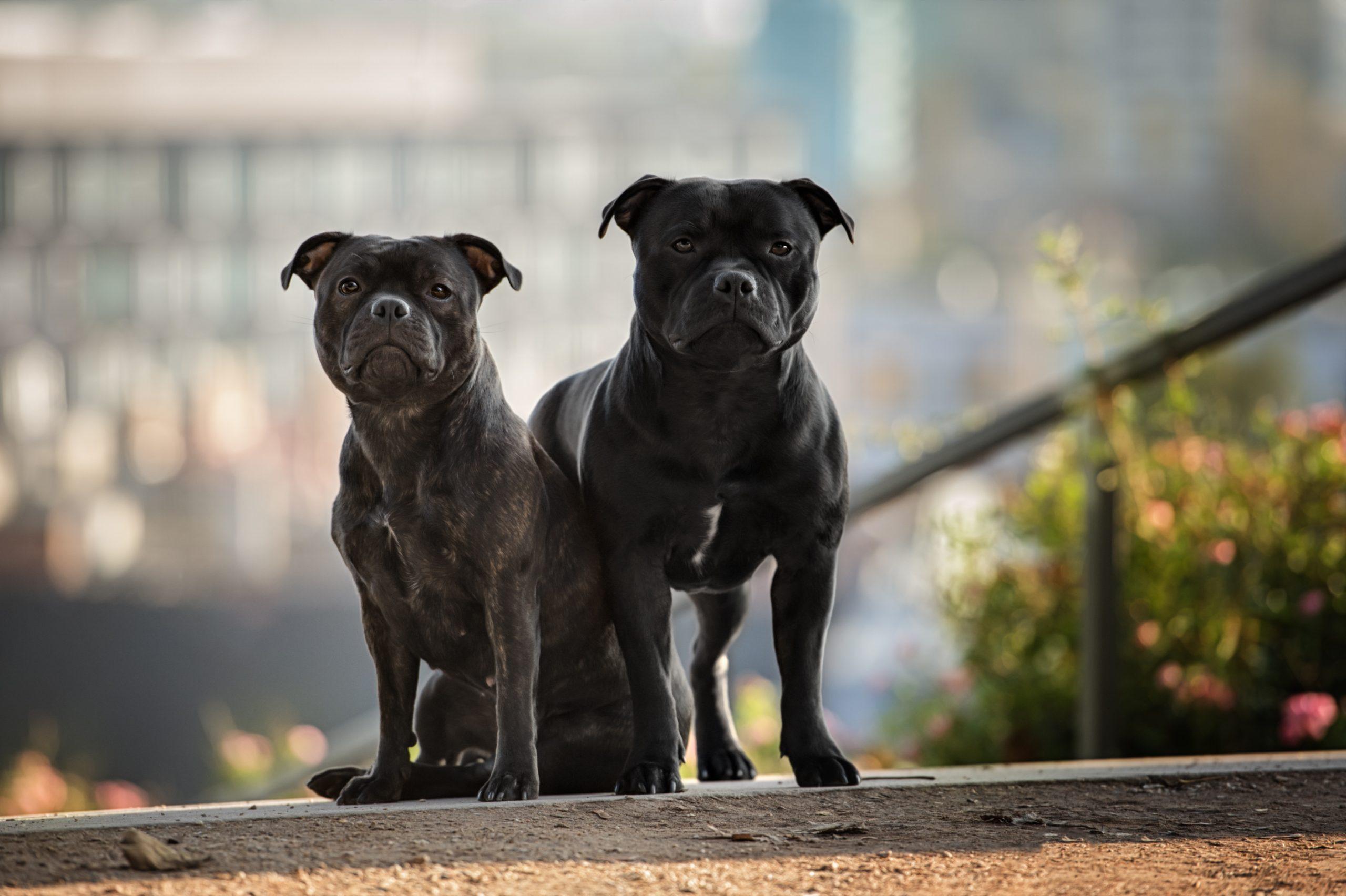 Les TOC chez les chiens