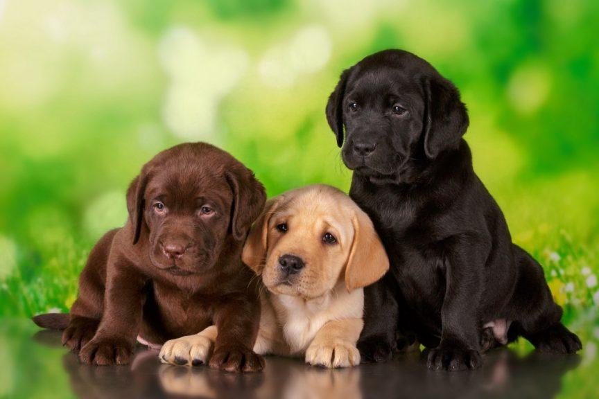 races de chien preferees des Francais